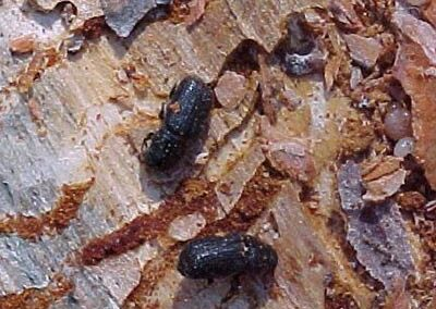 closeup photo of bark beetles