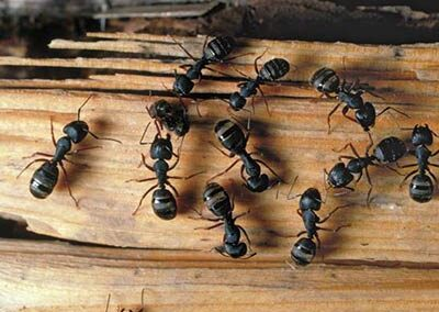 photo of carpenter ants